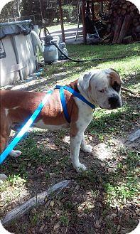 American Bulldog Dog for adoption in Spring Hill, Florida - BOXI