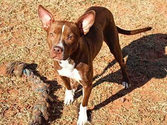 Australian Kelpie Mix Dog for adoption in Edmond, Oklahoma - PEPPERMINT