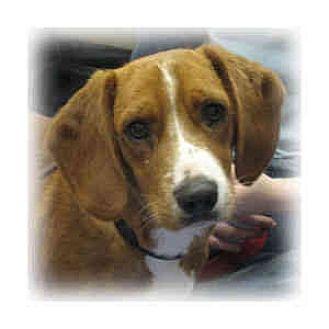 Basset Hound/Dachshund Mix Puppy for adoption in Huntley, Illinois - Alex
