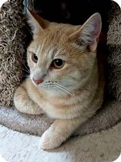American Shorthair Cat for adoption in Palo Cedro, California - Jesse James