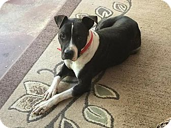 Staffordshire Bull Terrier Mix Dog for adoption in Union Springs, Alabama - Angus