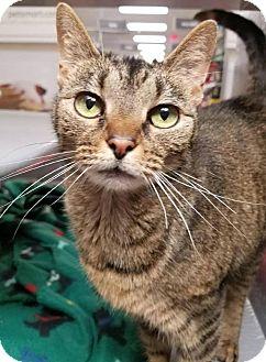 Abyssinian Cat for adoption in Hendersonville, North Carolina - Kyra