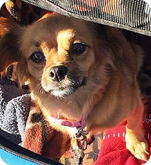 Pekingese/Dachshund Mix Dog for adoption in Westminster, Colorado - Monette