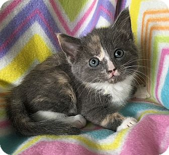 Maine Coon Kitten for adoption in Tampa, Florida - Pinocchio