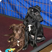 Adopt A Pet :: Chance - Marble Falls, TX