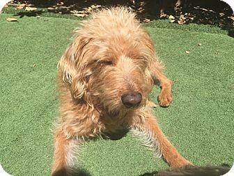 Wheaten Terrier/Poodle (Miniature) Mix Dog for adoption in orange, California - Julian