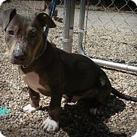 Adopt A Pet :: Ollie - Muskegon, MI