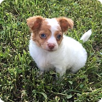 Chihuahua Mix Puppy for adoption in Fort Collins, Colorado - Noah (DENVER)