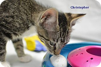 Domestic Shorthair Kitten for adoption in Miami Shores, Florida - Christopher