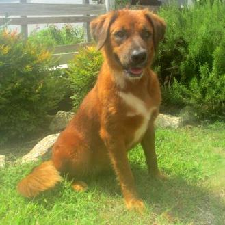 Shepherd (Unknown Type) Mix Dog for adoption in Tyler, Texas - Sunny