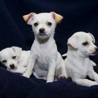 Adopt A Pet :: Piper - Huntingdon, PA
