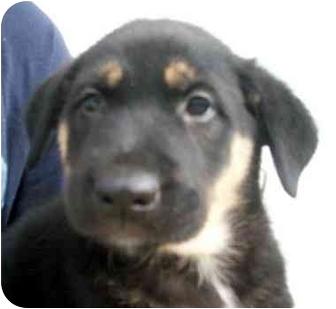Australian Shepherd Mix Puppy for adoption in Chapel Hill, North Carolina - Corinne