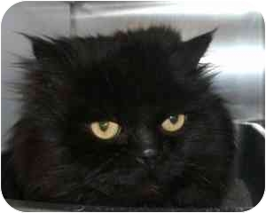 Persian Cat for adoption in Vineland, New Jersey - Massimo
