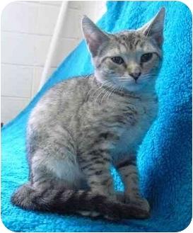 Domestic Shorthair Kitten for adoption in Honesdale, Pennsylvania - Sahara
