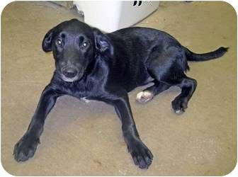 Labrador Retriever Mix Puppy for adoption in Marseilles, Illinois - Nike