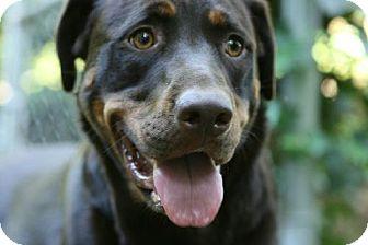 German Shepherd Dog/Labrador Retriever Mix Dog for adoption in Lebanon, Maine - Bella-URGENT (See Biscuit's li