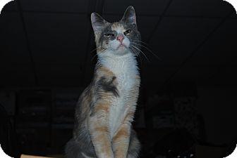 American Shorthair Cat for adoption in Ogden, Utah - Adele