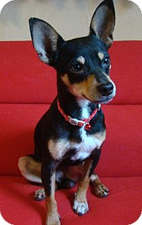 riley adopted dog haughton la miniature pinscher jack russell terrier mix