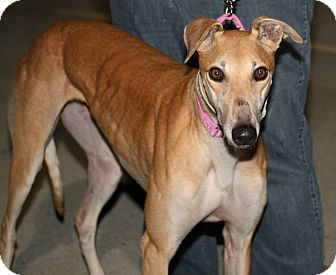 "Greyhound Dog for adoption in Smyrna, Tennessee - Brad's Baby ""BB"" ""Baby"""