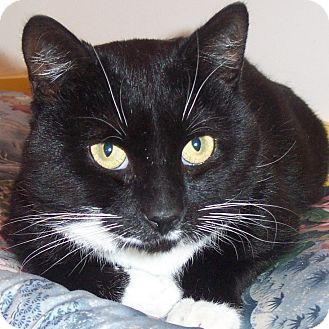Domestic Shorthair Cat for adoption in Brimfield, Massachusetts - Luigi