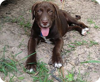 Hound (Unknown Type) Mix Puppy for adoption in Houston, Texas - Vic