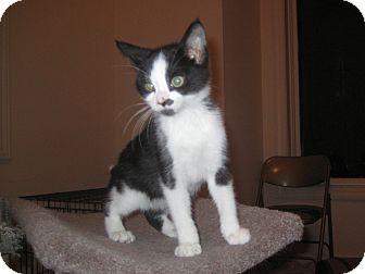 Domestic Shorthair Kitten for adoption in Rochester, Minnesota - Moo