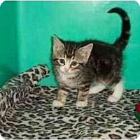 Adopt A Pet :: Tigress - Secaucus, NJ