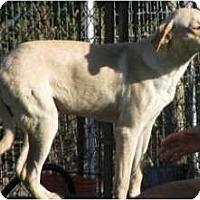 Adopt A Pet :: Tyler - East Hartford, CT