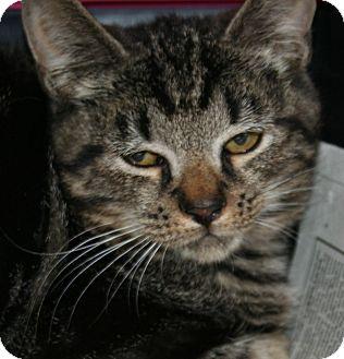 Domestic Shorthair Kitten for adoption in Putnam, Connecticut - Mia (kitten)