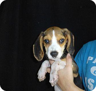 Beagle Mix Puppy for adoption in Oviedo, Florida - Cutie