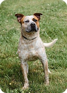 Bulldog/Pit Bull Terrier Mix Dog for adoption in Zanesville, Ohio - #428-14 ADOPTED!