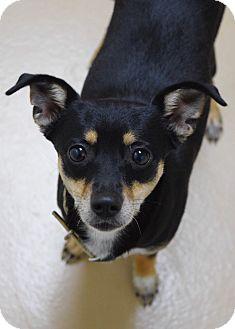 Miniature Pinscher/Chihuahua Mix Dog for adoption in Dublin, California - Cherry