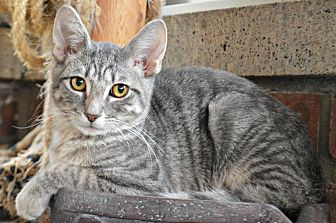 Domestic Shorthair Cat for adoption in Bronx, New York - Elio