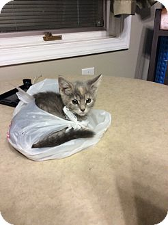 Domestic Shorthair Kitten for adoption in Warren, Michigan - Sarah -Special Fee $75-Feluk+