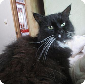 Domestic Longhair Cat for adoption in Witter, Arkansas - Roxy Socks