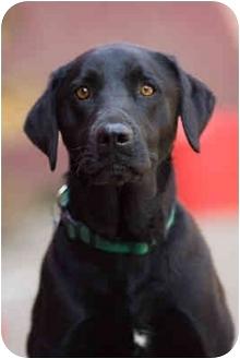 Labrador Retriever Dog for adoption in Portland, Oregon - Shyanne