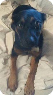Miniature Pinscher/Shepherd (Unknown Type) Mix Dog for adoption in Lebanon, Tennessee - Sansa