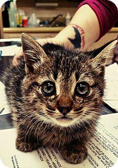 Domestic Shorthair Kitten for adoption in Albertville, Alabama - Scout