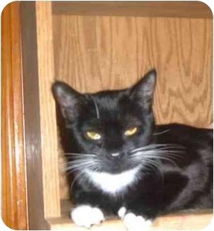 Domestic Shorthair Cat for adoption in Bedford, Massachusetts - Angel