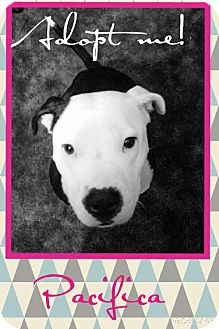 American Staffordshire Terrier/French Bulldog Mix Dog for adoption in Huntington Beach, California - Pacifica