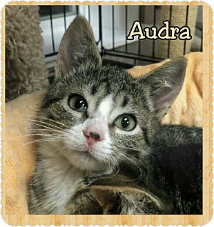 Domestic Shorthair Kitten for adoption in Atco, New Jersey - Audra