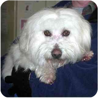 Maltese/Sheltie, Shetland Sheepdog Mix Dog for adoption in Springdale, Ohio - Cooper