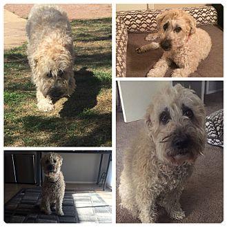 Wheaten Terrier Mix Dog for adoption in Mesa, Arizona - MADISON 12 YR WHEATON