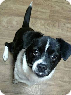 Boston Terrier/Collie Mix Dog for adoption in Plainfield, Connecticut - Egypt