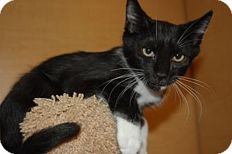 Domestic Shorthair Kitten for adoption in Whittier, California - Tater