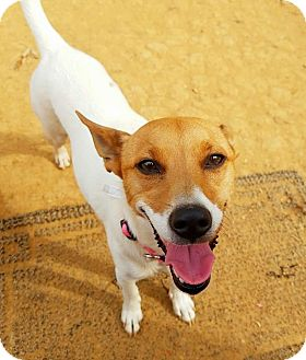 Fox Terrier (Smooth) Mix Dog for adoption in Kingston, Tennessee - Gigi
