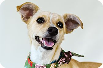 Chihuahua Mix Dog for adoption in Vancouver, British Columbia - Guapo