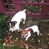 Jack Russell Terrier Dog for adoption in Union Grove, Wisconsin - Mary Belle &Rally