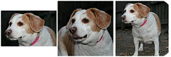 Beagle Dog for adoption in Forked River, New Jersey - Angel