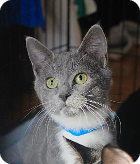 Domestic Shorthair Kitten for adoption in Smithtown, New York - Baxter